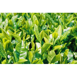 Thé vert (camellia sinensis)