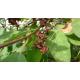 anis étoilé (illicium verum)