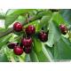 Cerisier (cerasus vulgaris)