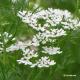 Coriandre (coriandrum sativum)