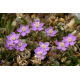 Sabline (arenaria rubra)