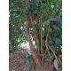 Cannelle de Ceylan (Cinnamomum Zeylanicum)