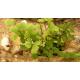 Capillaire de Montpellier (andiantum capillus)