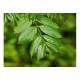 Frêne (fraxinus excelsior)