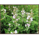 Guimauve (althaea officinalis)