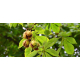 Marronnier d'Inde (aesculus hippocastanum)