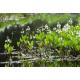 Ményanthe (menyanthes trifoliata)