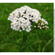 Millefeuille (achillea millefolium)
