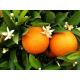 Oranger Bigaradier (citrus aurantium) - feuilles