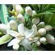 Oranger Bigaradier (citrus aurantium) - fleurs