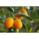 Oranger Bigaradier (citrus aurantium) - écorce