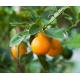 Oranger (citrus vulgaris) - écorce