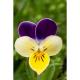 Pensée sauvage (viola tricolor)