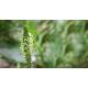 Psyllium (plantago ovata)