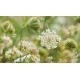 Reine des prés (spirea ulmaria)