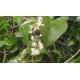 Salsepareille (smilax aspera)