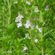 Sarriette (satureja montana)