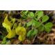 Séné (cassia angustifolia) - Follioles