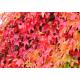Vigne rouge (vitis vinifera)