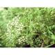 Anis vert ( pimpenella anisum)