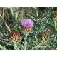 Artichaut (cynara scolymus)