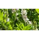 Réglisse (glycyrrhiza glabra)