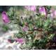 Bugrane (ononis spinosa)