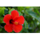 Hibiscus Plante nature