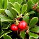 Busserole (uva ursi)